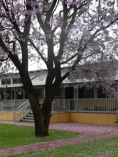 jacaranda in front of building