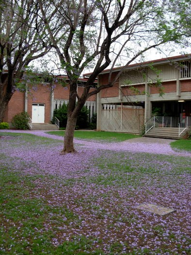 jacaranda in front of library